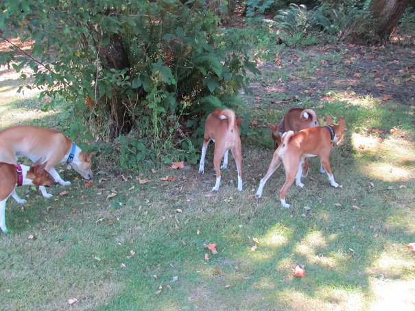 basenji butts are the cutest