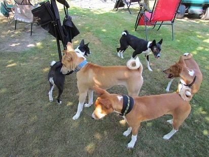 ring around the basenji butt